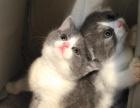 家庭式繁育猫舍英短蓝猫蓝白 长期 布偶猫加菲猫等