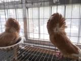 精品观赏鸽价格 观赏鸽品种
