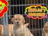 自家狗场繁殖金毛犬—品质健康有保障—签协议