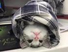 美短加白幼猫2个月转让2666元