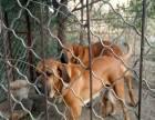 巴西非勒犬对外出售