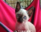 出售暹罗猫幼崽
