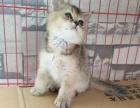英短黑金渐层公猫宝宝出售