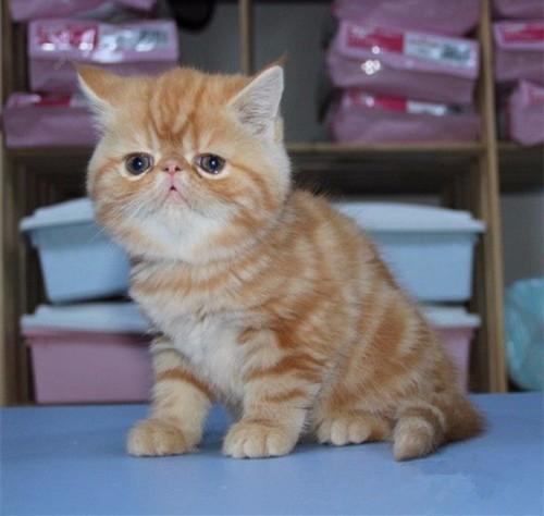 东莞猫舍出售纯种短毛猫 英国短毛猫 美国短毛猫异国短毛猫