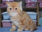 猫舍出售纯种加菲猫 品相漂亮公母都有 欢迎上门挑选