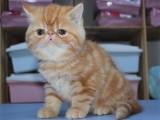 佛山猫舍出售纯种加菲猫 公母都有自家繁殖健康保障欢迎上门挑选