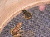 农村养殖黑斑蛙效益高有保障