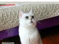 纯种英短英国短毛猫银渐层立耳活体幼猫健康