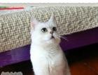 英国短毛猫 银渐层宠物猫幼猫 活体猫咪纯种