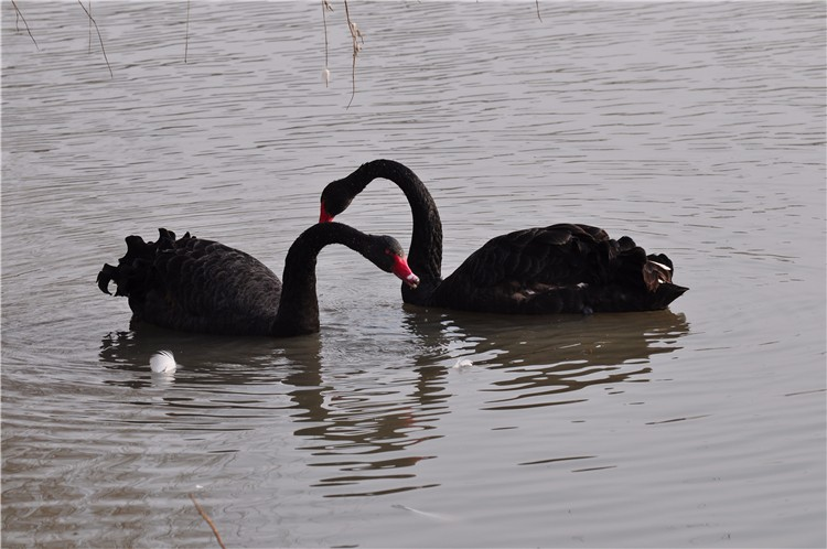 优质黑天鹅 黑天鹅苗 青年黑天鹅 商品黑天鹅 保质量 保健康