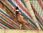 生态七彩山鸡养殖