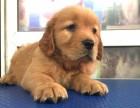兰州金毛犬多少钱一只 兰州哪里有卖纯种金毛犬价格多少