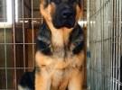 宜宾德国牧羊犬多少钱一只 犬舍直销德牧幼犬 加VX看