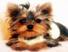 约克夏 常年销售 包细小犬瘟冠状 包防疫包纯种