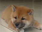 大脸柴犬,质保三个月,终身包纯,可签协议送宠物用品