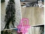 折耳猫美国短毛猫