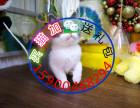 自家猫舍繁育一窝短毛包纯种 包健康