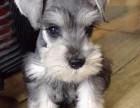 聪明机警小老头雪纳瑞幼犬出售 包活 包纯种特价出售