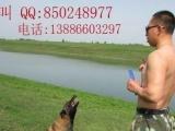 公安县马犬训练繁殖基地,客户包教训练