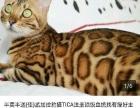 纯种孟加拉豹猫展示,借配,出售