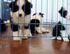 珠海哪有边境牧羊犬卖 珠海边境牧羊犬价格 边境牧羊犬多少钱