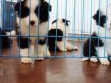 北京哪有边境牧羊犬卖 北京边境牧羊犬多少钱 边境牧羊犬图片