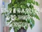 供应花卉租摆幸福树 垂直绿化 室内外绿化养护 东莞租花
