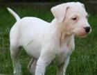 买纯种杜高犬 保纯保健康-可签订质保协议