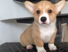 昆明 纯种柯基幼犬 疫苗完全出售中 可签协议安康保证
