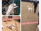 猎兔犬 卡斯罗 杜高犬 比特犬 会活的价格优惠,急加速等