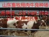 西门塔尔牛的养殖利润分析