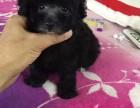 犬舍促销顶级优秀韩系泰迪犬 可签订活体销售协议