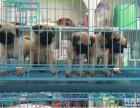 包防疫驱虫 纯种 巴哥犬 买狗赠送礼包,包养活