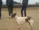 猎犬养殖基地 格力犬 灵缇犬 惠比特犬 野兔常年出售