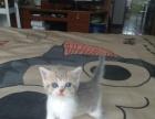 纯种英短蓝虎斑加白妹妹 幼猫宠物猫 英国短毛猫