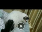 加菲猫出售 大种公配猫