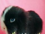 出售小垂耳,生日4月14价格面议,带兔粮
