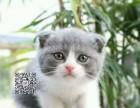 桂林蓝白英短渐层折耳立耳都有~包健康~同城免费送猫上门