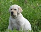 绵阳哪里出售拉布拉多犬 绵阳拉布拉多犬多少钱