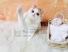 宠物猫 加菲猫 异短 扁脸猫 红白 虎斑短毛猫
