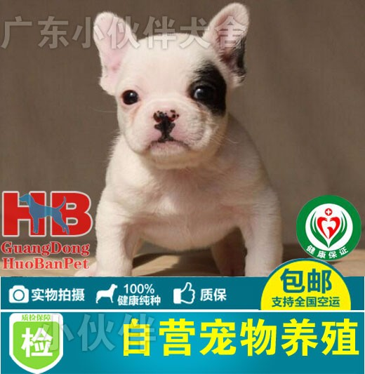 深圳法国斗牛犬哪里有卖深圳奶油色法牛 深圳哪里有卖法牛