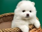 北京出售 博美幼犬 纯种健康保障 疫苗驱虫已做 签协议包售后