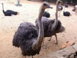 赤峰附近的鸵鸟养殖场