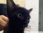 「冒宝儿家の暹罗猫」纯黑色 公