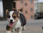 本地出售純種威爾士柯基幼犬 健康有保障