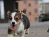 本地出售纯种威尔士柯基幼犬 健康有保障