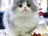 英短高地長毛貓寵物貓幼貓活體拿破侖