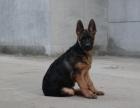 自家大狗生了一窝德国牧羊犬可以上门看狗父母