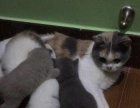 自家养英国短毛猫预订