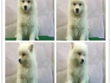 宠物狗 纯种哈士奇幼犬狗狗出售 健康质保